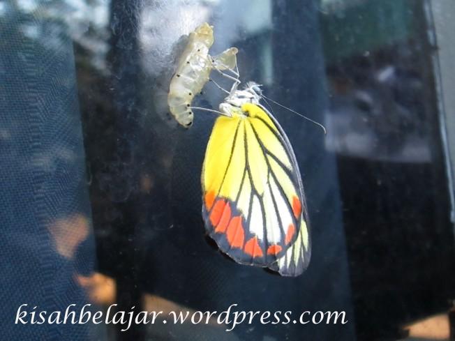 Kupu-kupu yang akan meninggalkan kepompong