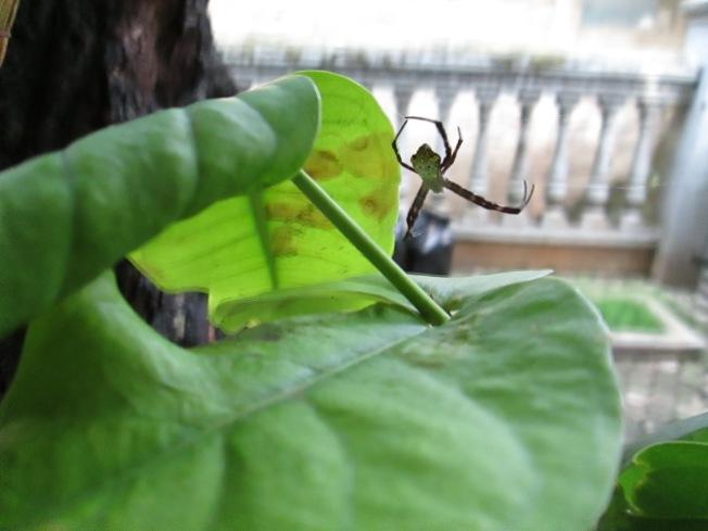 Laba-laba ini menempel di jaringnya. Sayang jaringnya tidak bisa terekam kamera