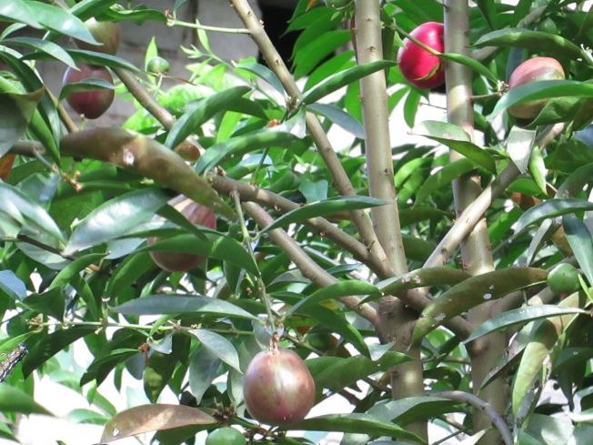 pohon mahkota dewa yang sedang banyak berbuah