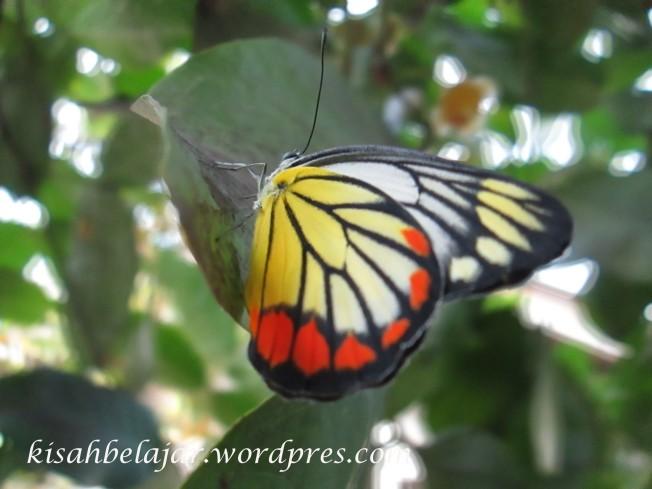 kupu-kupu yang sudah terbang bebas